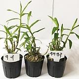 석곡3포트/난/석곡/공기정화식물/동양란/식물/공기/풍란/나라아트|