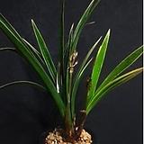 황룡금(4-5촉)/석곡/화분/난/공기정화식물/분재/수반/꽃/옹기/나라아트|