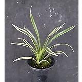 천금(3-4촉)/난/공기정화식물/꽃/풍란/동양란/서양란/나라아트|