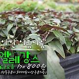 엘레강스달개비(실달개비) 모종 800원 (단품목 5000원 이상배송가능)|