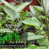 배풍등(排風藤) 모종 900원 (단품목 5000원 이상배송가능)|