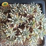 화이트그리니38두자연군생|Dudleya White gnoma(White greenii / White sprite)