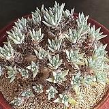 화이트그리니52두자연군생|Dudleya White gnoma(White greenii / White sprite)
