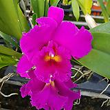 카틀레야.타이완킹(진핑크에빨강립술).아주예쁜색.꽃대형종.향기좋은향.고급종.잘않나오는 품종.인기상품.상태굿.꽃눈있어요.|