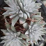 화이트그리니자연목대군생한몸9두 Dudleya White gnoma(White greenii / White sprite)