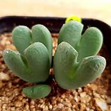 축전|conophytum bilobum