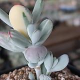 방울복랑금자연 Cotyledon orbiculata cv variegated