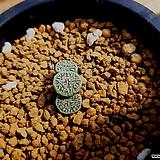 위트버젠스3두|Conophytum Wittebergense