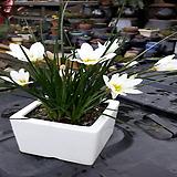 제피란서스 칸디다-1포트(15cm)|Dudleya candida