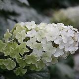 떡갈잎수국 / 수국 / 6호사각|Hydrangea macrophylla