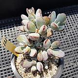 방울복랑121 Cotyledon orbiculata cv