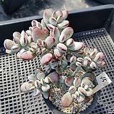 방울복랑45 Cotyledon orbiculata cv