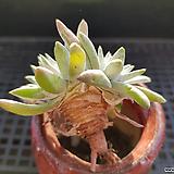특가 화이트그리니4두247 Dudleya White gnoma(White greenii / White sprite)