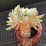 특가 화이트그리니8두282 Dudleya White gnoma(White greenii / White sprite)