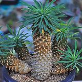 괴마옥(T023)|Euphorbia hypogaea