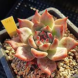 원종콜로라타45 Echeveria colorata