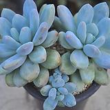 후레뉴(T035)|Pachyphtum cv Frevel