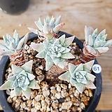 화이트그리니7두|Dudleya White gnoma(White greenii / White sprite)