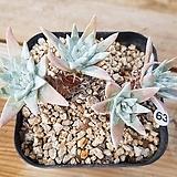 화이트그리니63|Dudleya White gnoma(White greenii / White sprite)