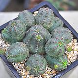 오베사(T098)|Baseball Plant (Euphorbia obesa)