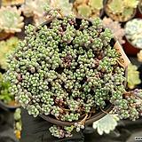 희성미인02 Pachyphytum oviferum