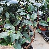 향동백(공기정화식물)향식물|