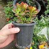 염좌(공기정화식물)|