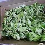 화이트마블스킨(공기정화식물)|