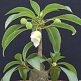 캐리애  수입 씨앗 5립 (흰꽃)|