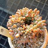 동미인철화38|Pachyveria pachyphytoides Walth