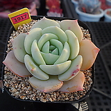 레드문1-1917|Echeveria Redmoon