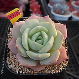 레드문1-1918|Echeveria Redmoon