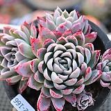 Echeveria Violet Queen
