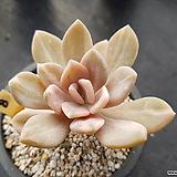 석연화금8|Pachyveria Pachyphytodies