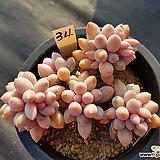 베이비핑거34|Pachyphytum Machucae(baby finger)