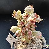구갑기린금75|Euphorbia submamillaris