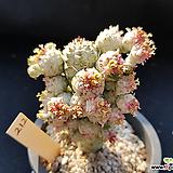 구갑기린금212|Euphorbia submamillaris