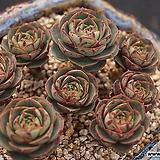 롱기시마계절금자연군생,2020.03/31 Echeveria longissima