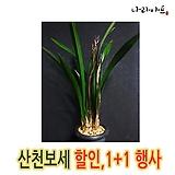 산천보세(4-5촉) 할인행사/1+1/동양난/동양란/난/난초/앤식물원|