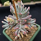 Cotyledon orbiculata cv variegated