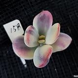 대형종최상급 방울복랑금158 뿌리무|Cotyledon orbiculata cv variegated