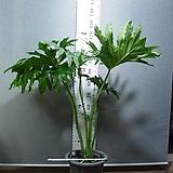 호프셀렘27번-자이언트킹-트로피컬타입-초대형-공기정화-동일품배송 Echeveria Giant