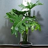 호프셀렘28번-자이언트킹-트로피컬타입-초대형-공기정화-동일품배송 Echeveria Giant