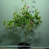 칼리안드라-아마존자귀-밤에잎오므려요-일년내내꽃피어요-동일품배송 
