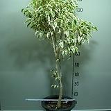 칼라 휠벤자민18번-특대품-높이 130센치-동일품배송 