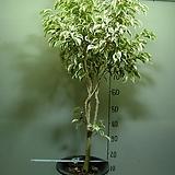 칼라 휠벤자민19번-특대품-높이 130센치-동일품배송 
