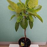 S라인 뱅갈고무나무 