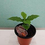 초특가 ) 향 커피나무 