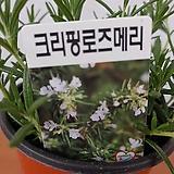 초특가) 크리핑로즈마리 