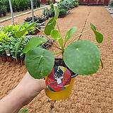 필레아 (신상 공기정화식물)개구리잎 